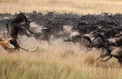 Serengeti Wildebeest Migration Calving Safari Package